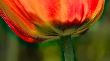 tulpe_ingrid-maier