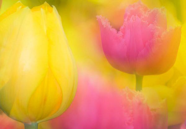 Tulpen-Poesie